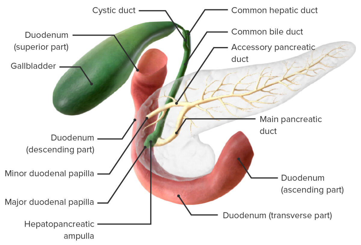 Model of the pancreatic ducts