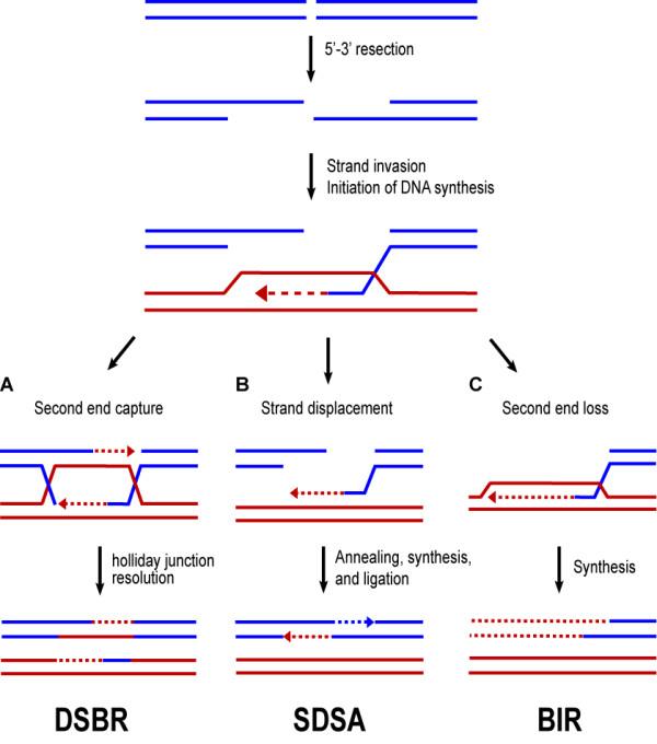 Models of homologous recombination