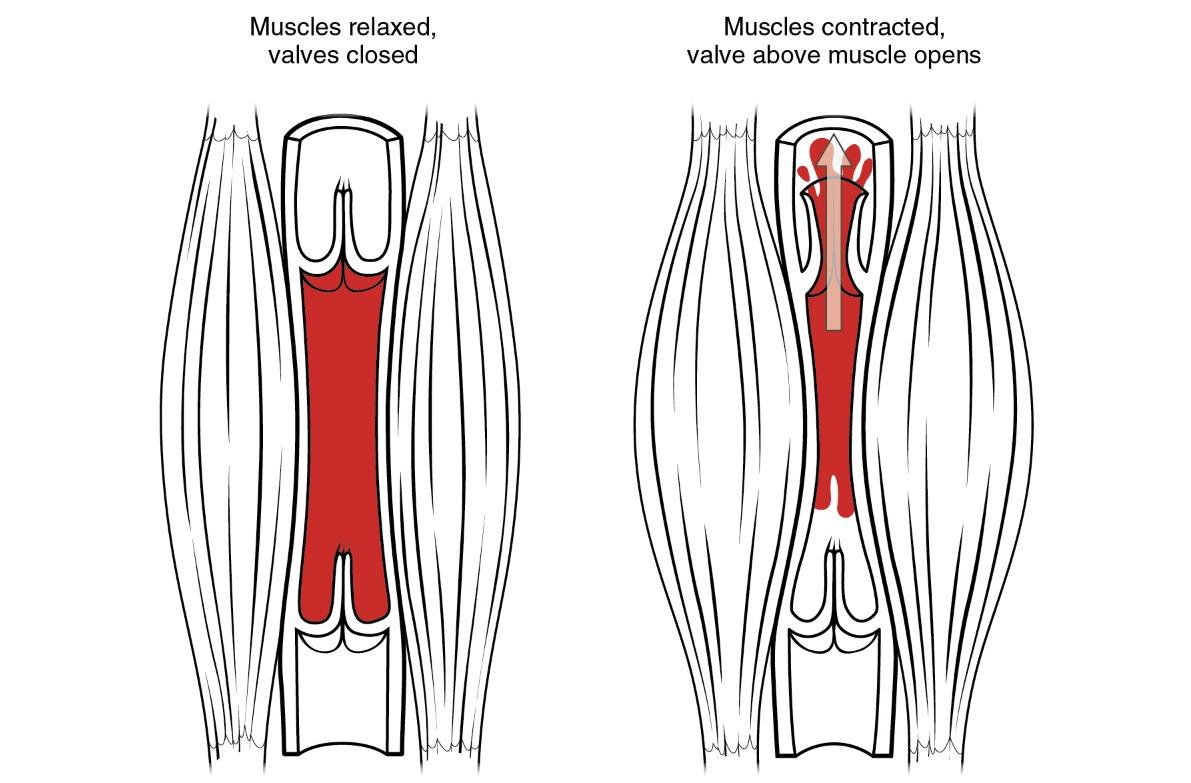 Muscle pump