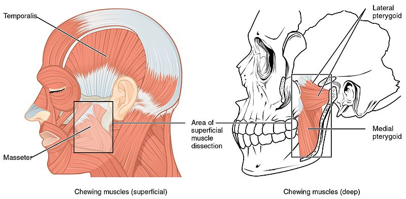 Muscle that Move the Lower Jaw