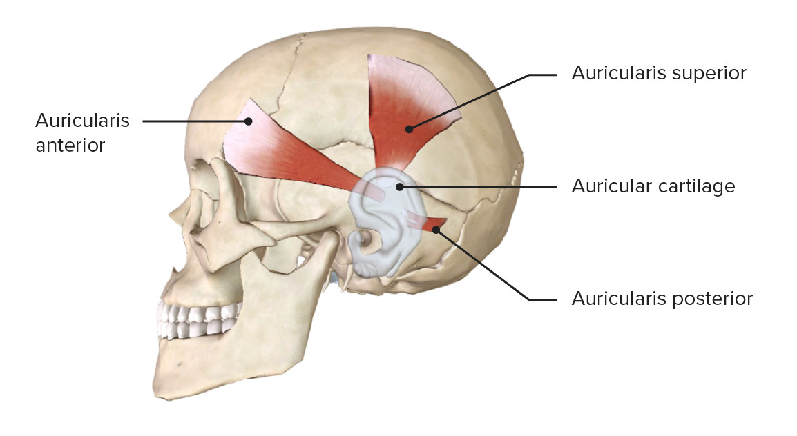 Lateral view of the head, featuring the facial muscles around the ear
