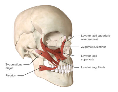 Muscles of the mouth (Upper group)