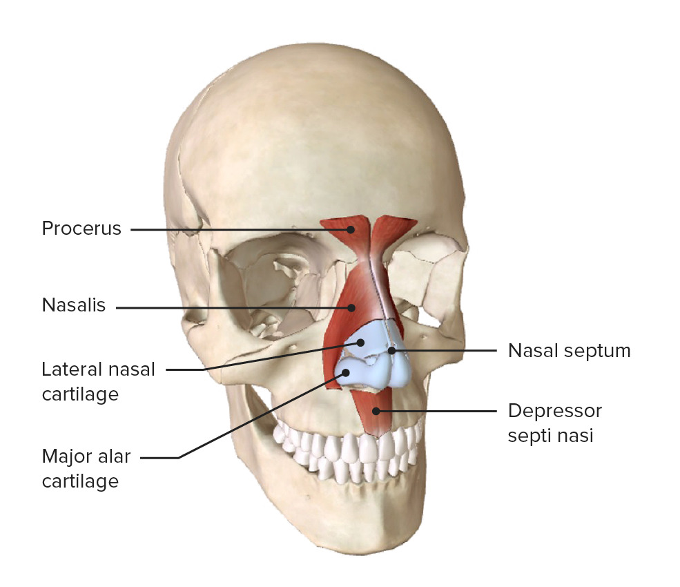 Oblique view of the skull showing the facial muscles of the nose