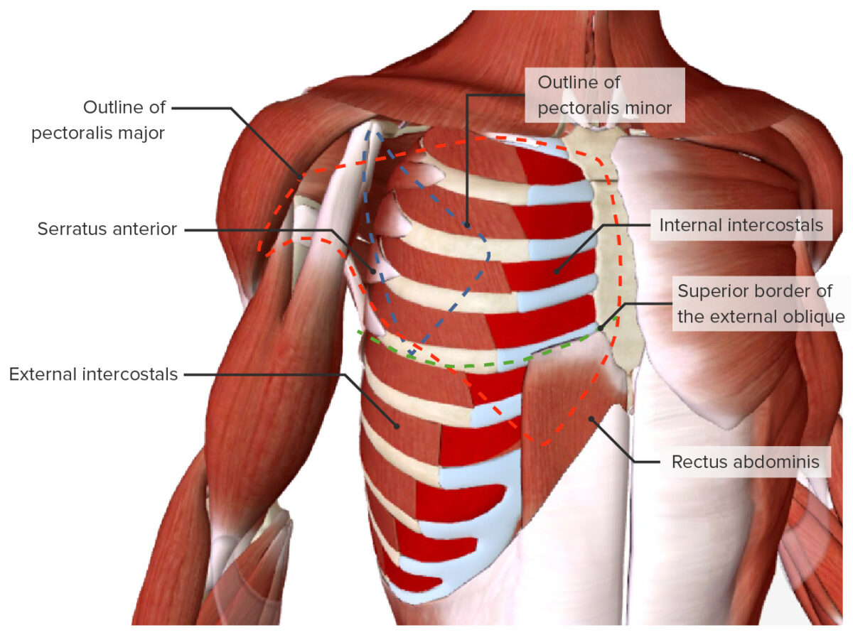 Muscles of the thoracic wall