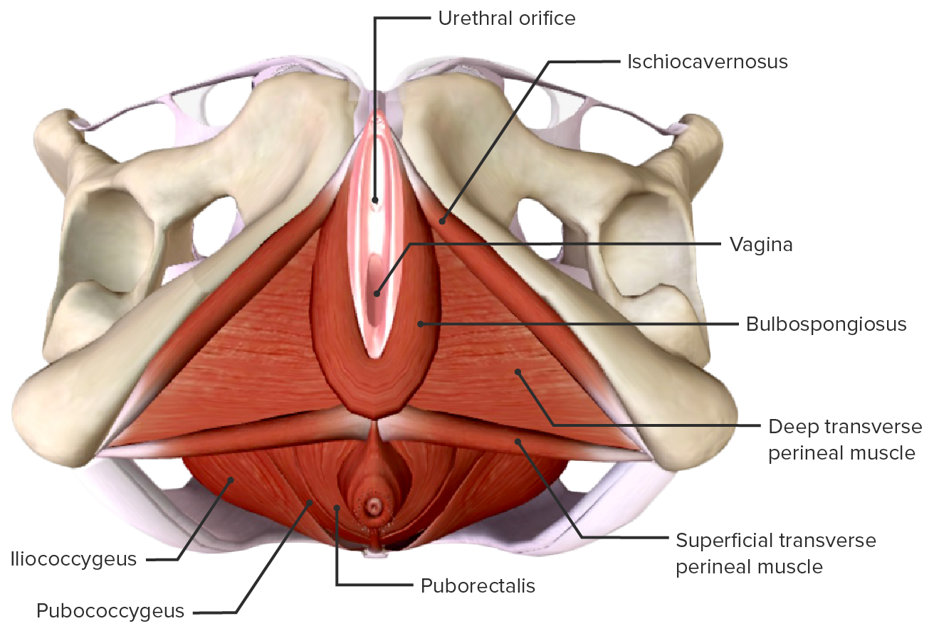 Muscular anatomy of the perineum and pelvic floor, external view