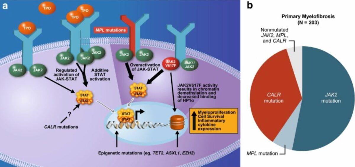 Mutations underlying the pathophysiology of myelofibrosis