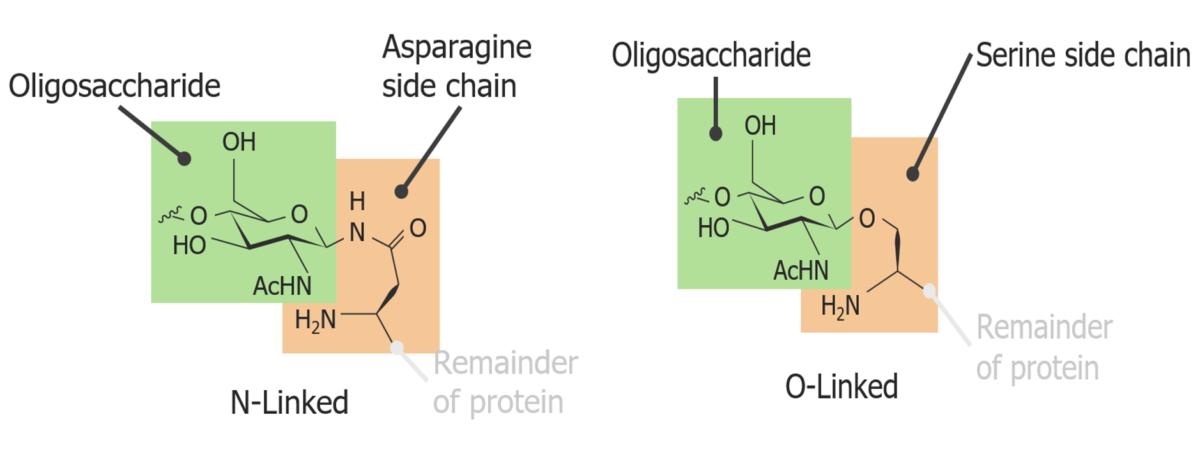 N-linked versus O-linked glycoprotein