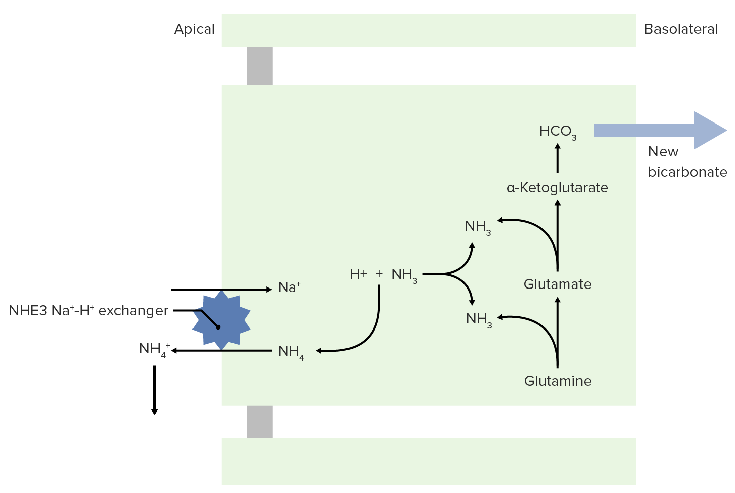 NH3 and NH4+ transport to the lumen for excretion