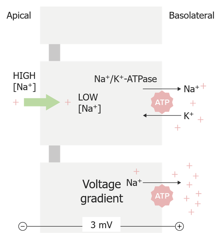 Na+ concentration gradient and voltage gradient