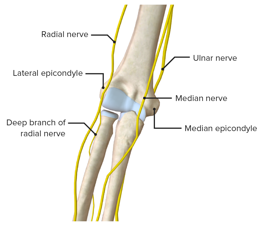 Nerves of the elbow