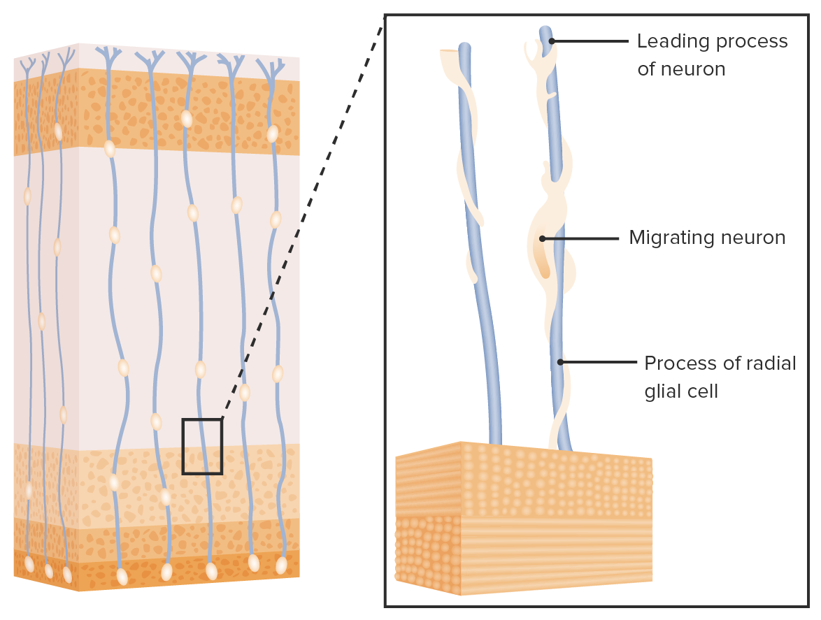 Neural migration along the radial glial cells