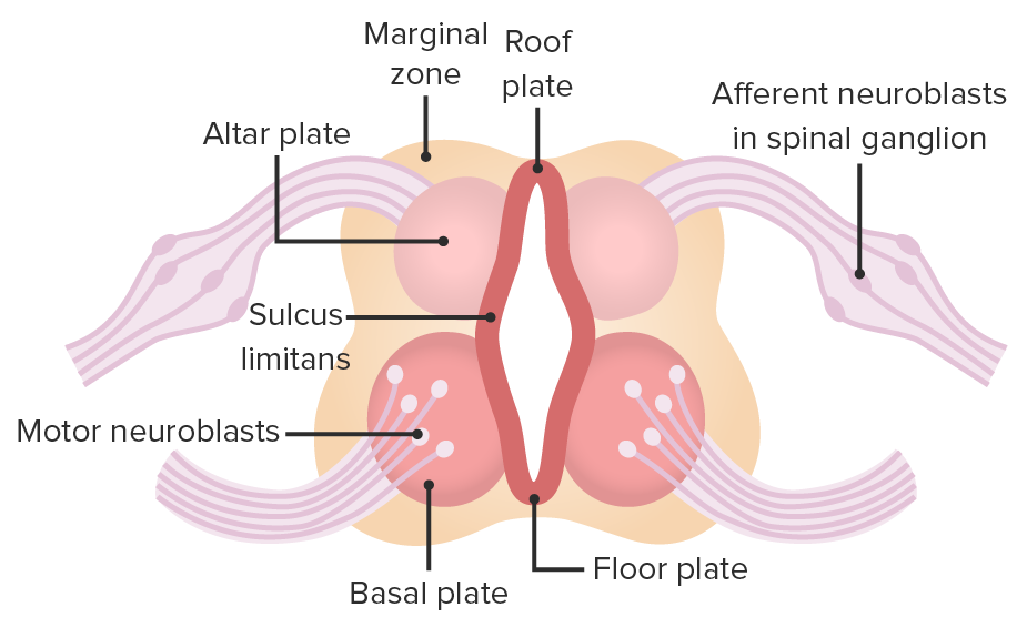 Neural tube - roof plate and floor plate