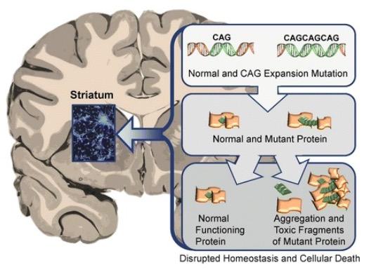 Neuronal changes in Huntington disease