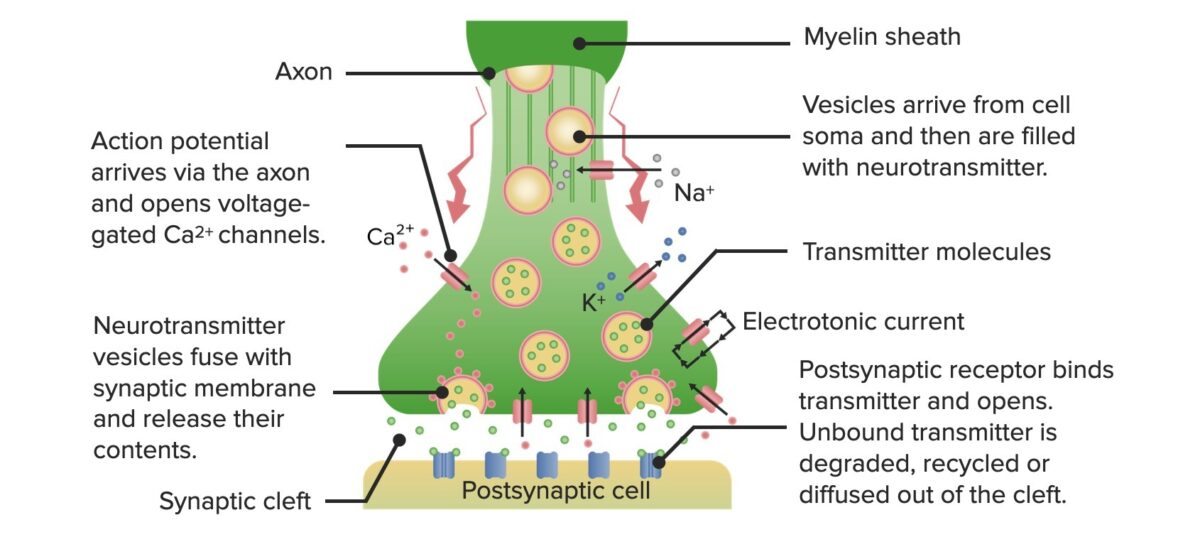 Neurotransmission-actions-at-the-synapse