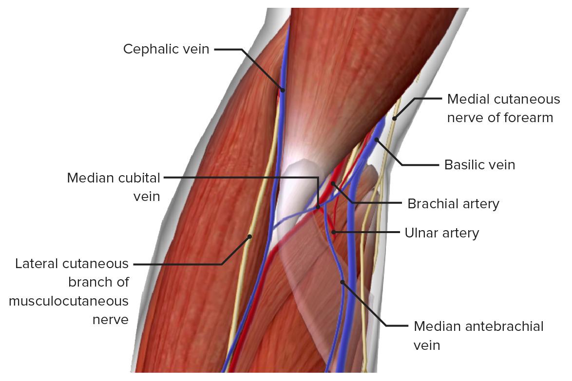 Neurovasculature of the elbow