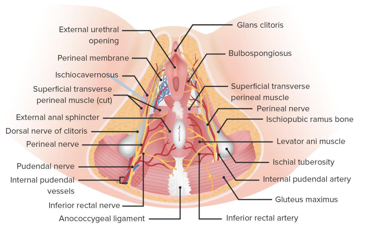 Neurovasculature of the perineum