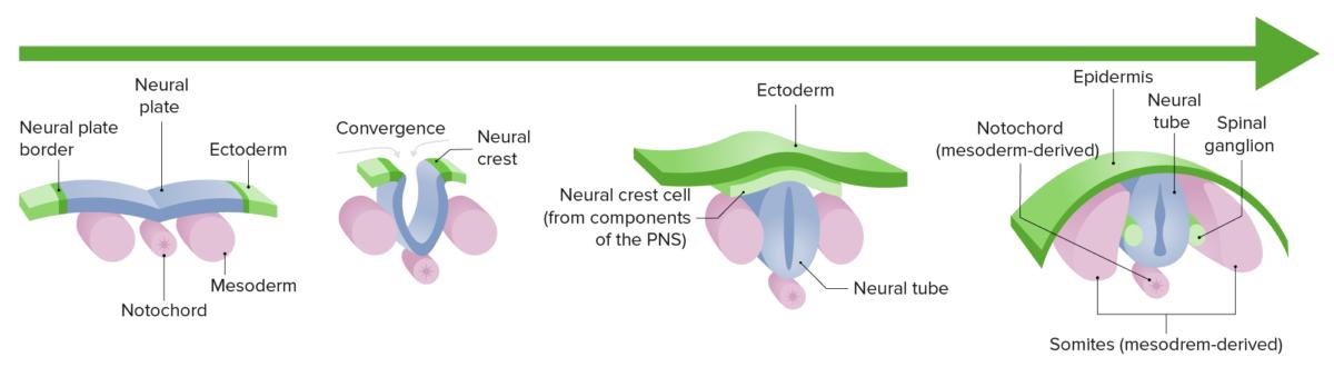Neurulation corrected