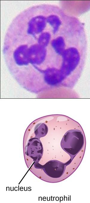 Neutrophil-granulocyte-cells-of-the-innate-immune-system