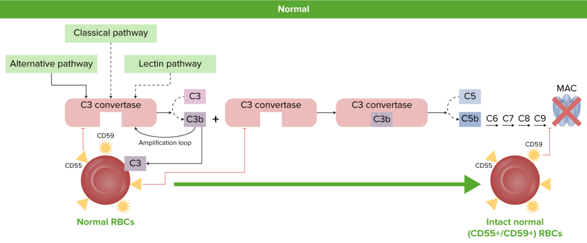 Normal RBC physiology