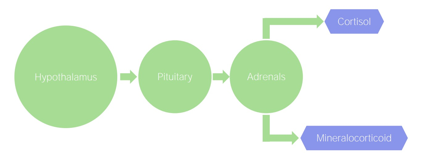 Normal adrenal gland function