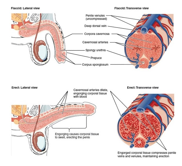 Normal erection (Structural components)