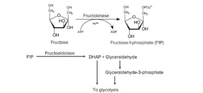 Normal metabolism of fructose