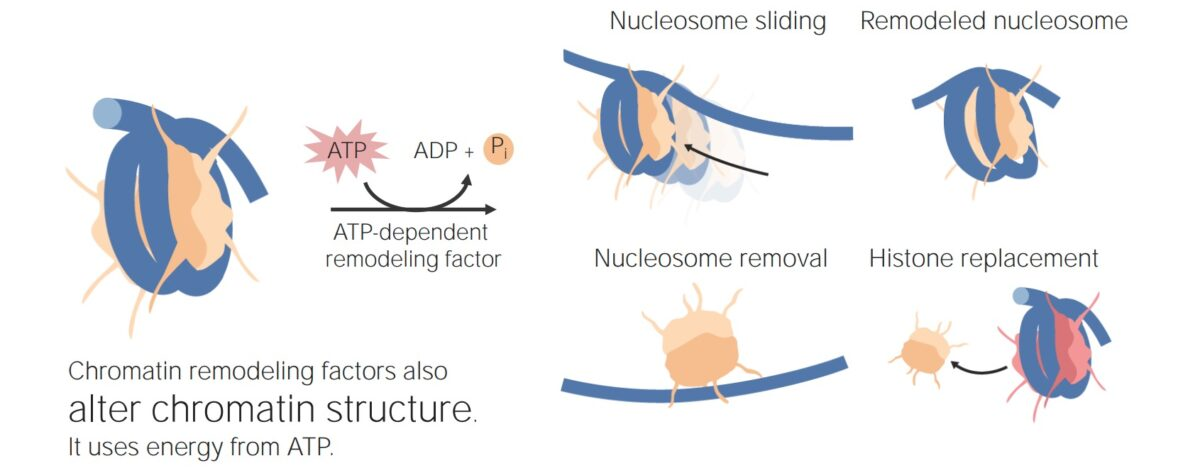 Nucleosome remodeling