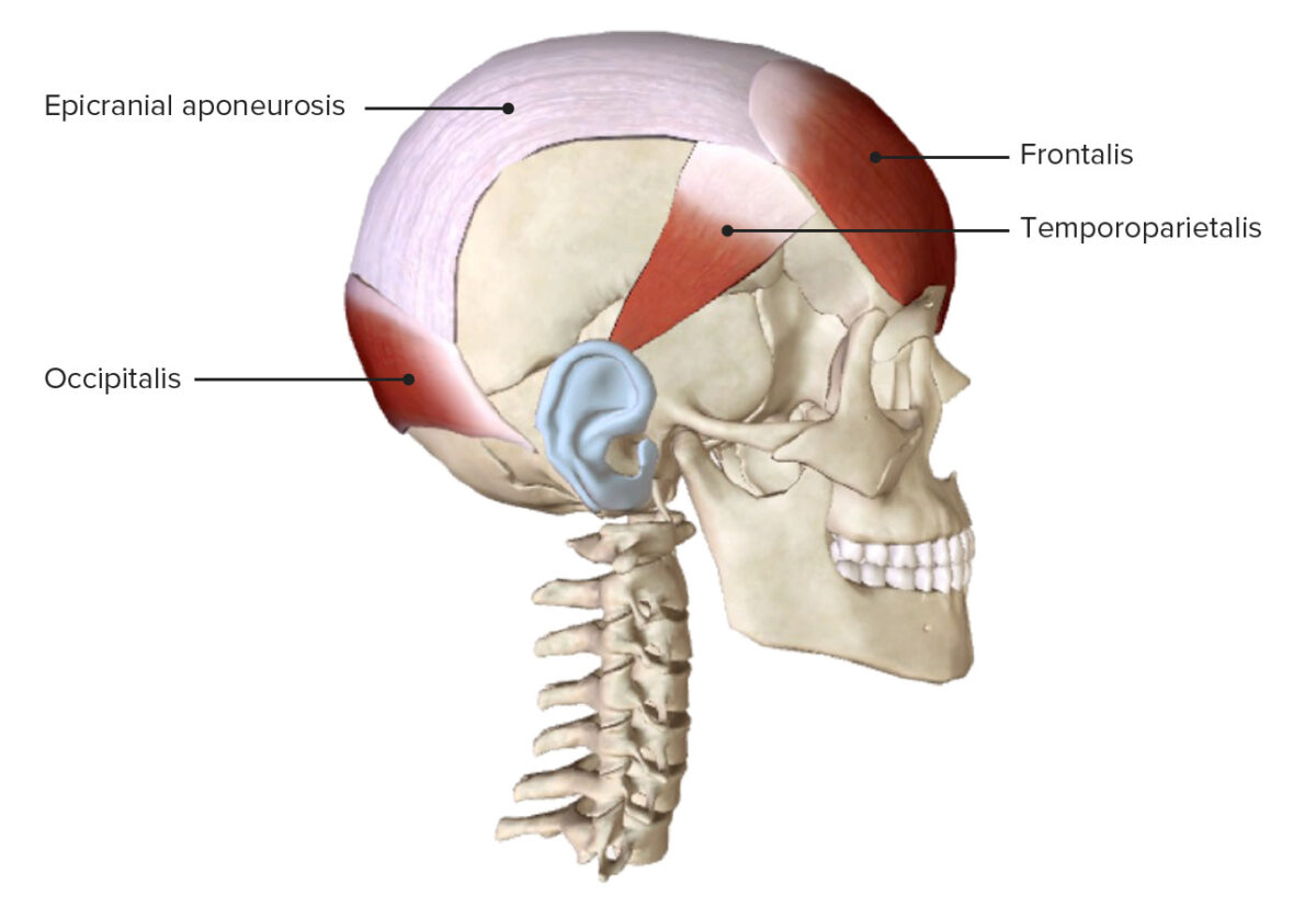 Occipitofrontalis and Temporoparietalis