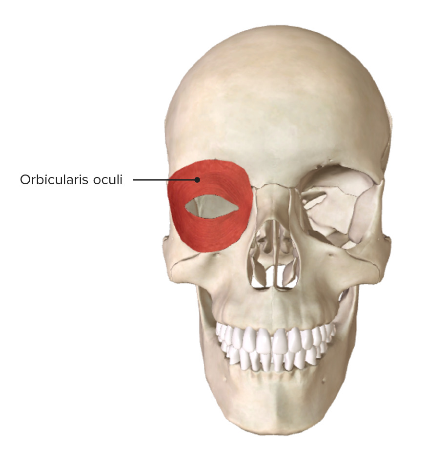 Anterior view of the skull, showcasing the origin and insertion of the orbicularis oculi muscle