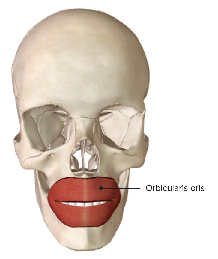 Anterior view of the orbicularis oris muscle fibers