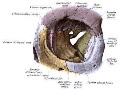 Orbit extraocular illustration