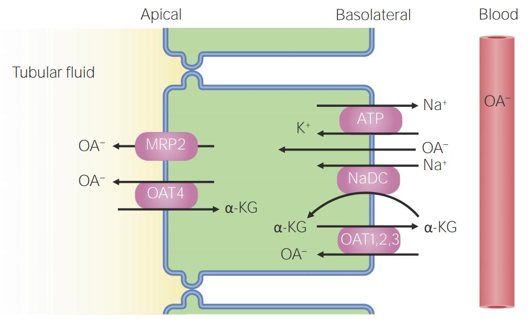 Organic anion secretion in the late proximal tubule