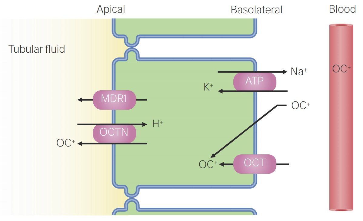 Organic cation transport in the proximal tubule