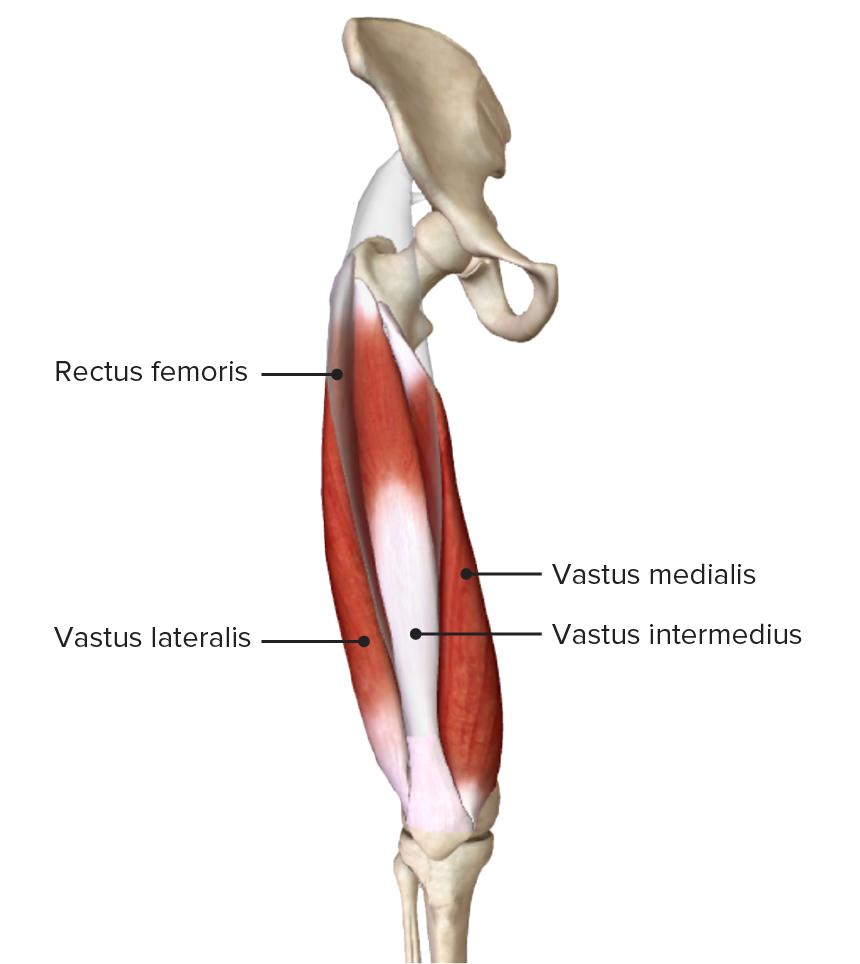 Origin and insertion of the quadriceps femoris