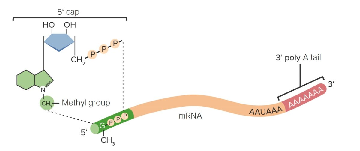 Overview of segments of mRNA