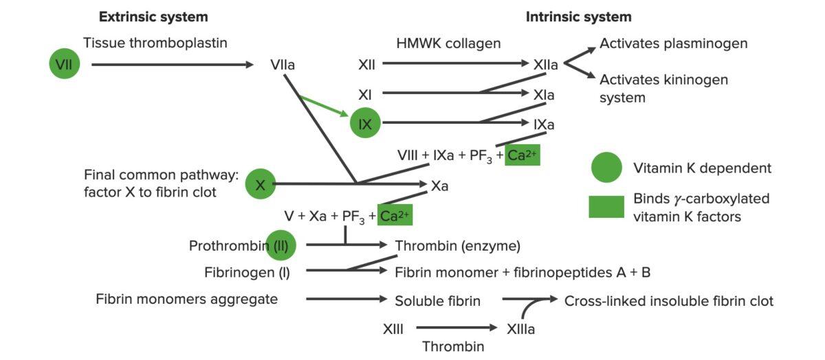 Overview of the coagulation cascade