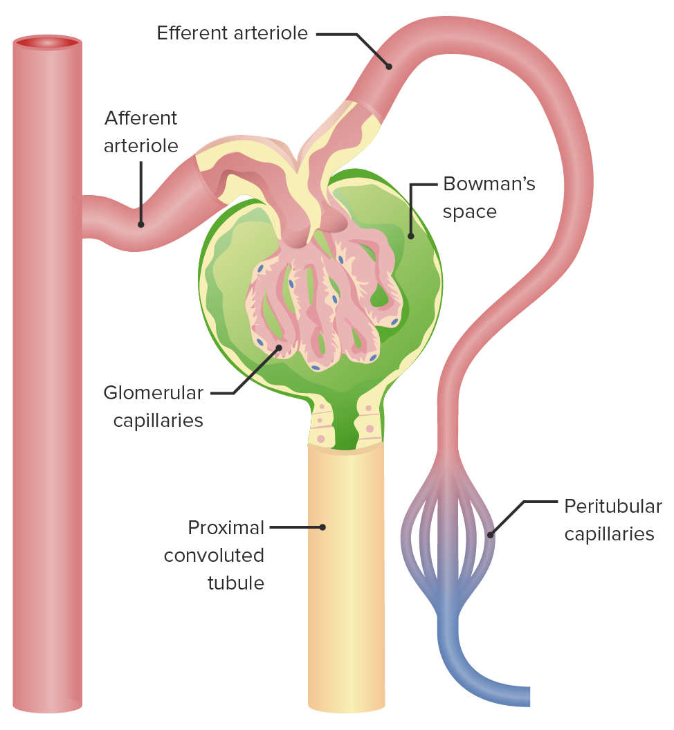 Overview of the glomerulus