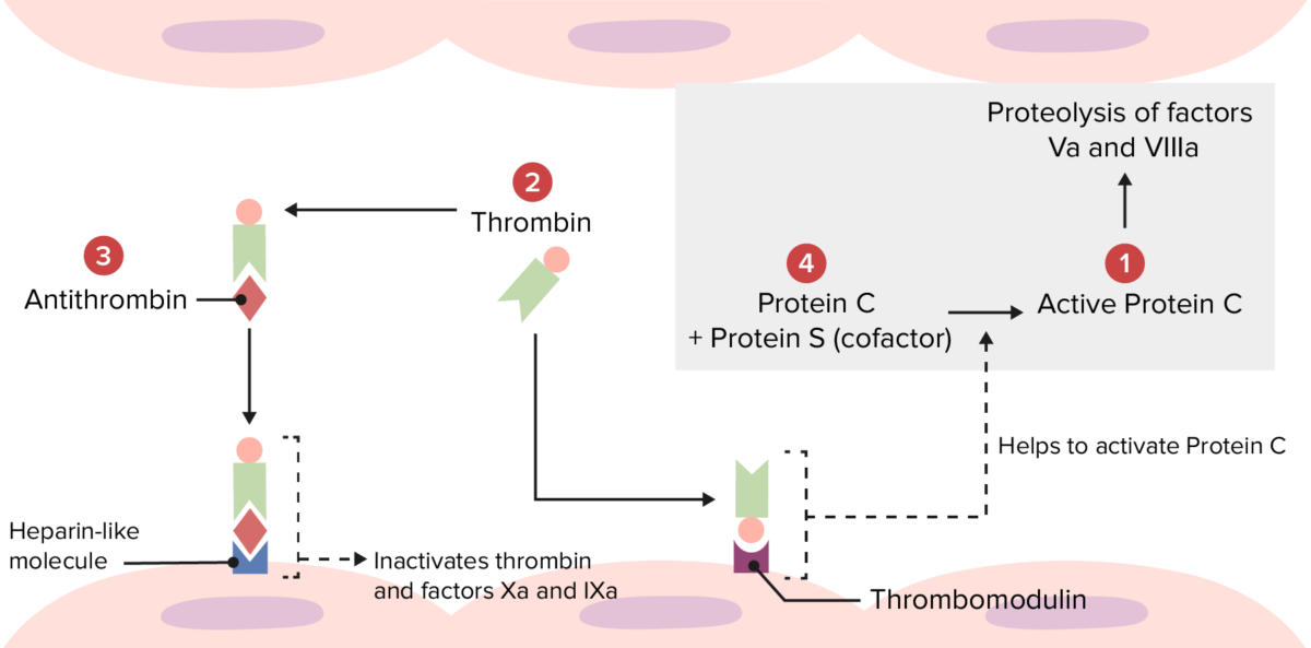Overview of the physiologic thrombolytic pathway