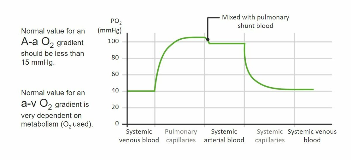 PO₂ gradients in pulmonary and systemic circulations Respiratory gas exchange