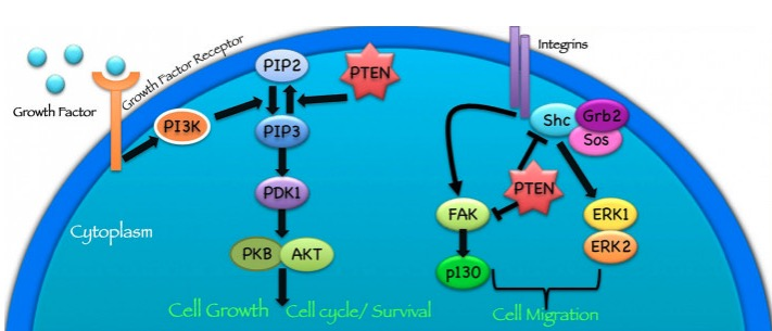 PTEN protein pathophysiology of Cowden syndrome