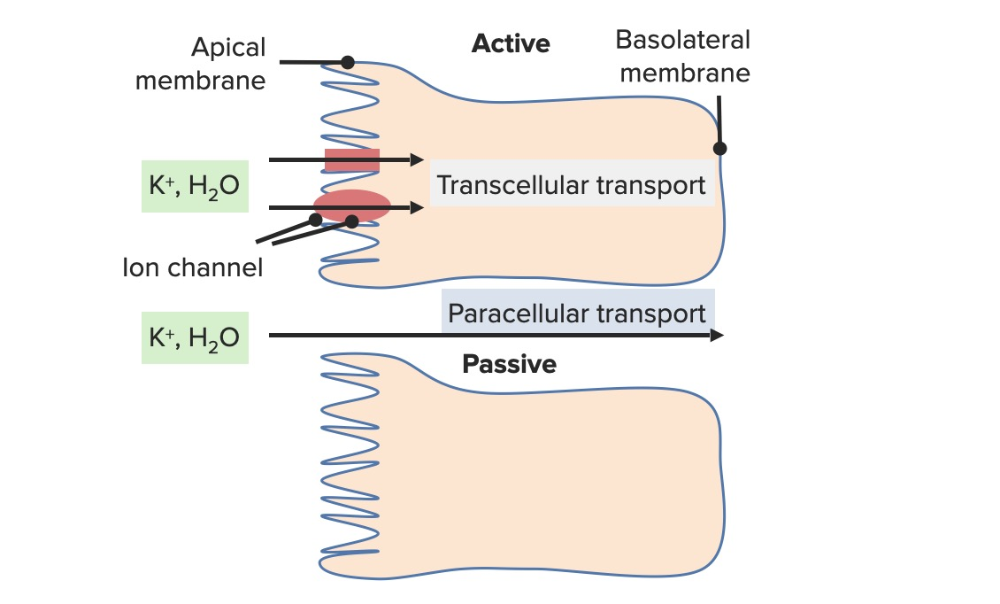 Paracellular transport of potassium