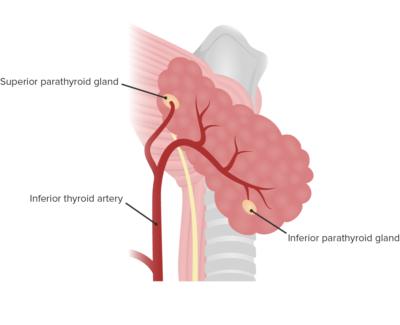 Arterial supply of parathyroid glands
