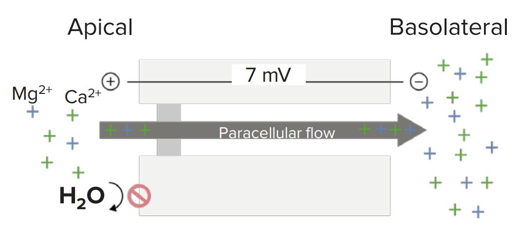 Passive paracellular reabsorption of magnesium and calcium