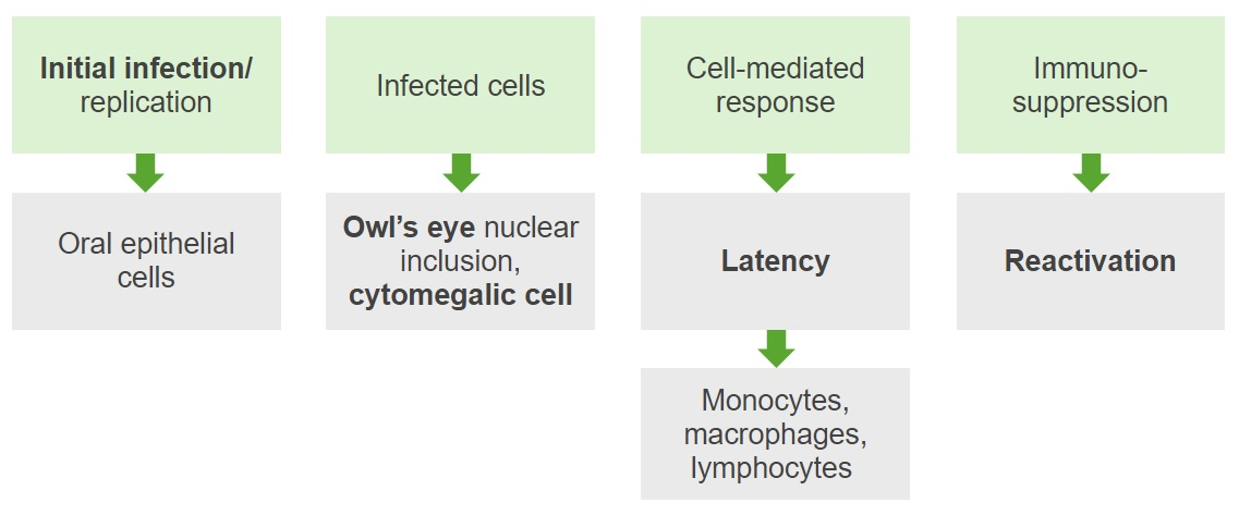 Pathogenesis Cytomegalovirus