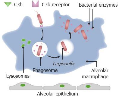 Pathogenesis of Legionella infection