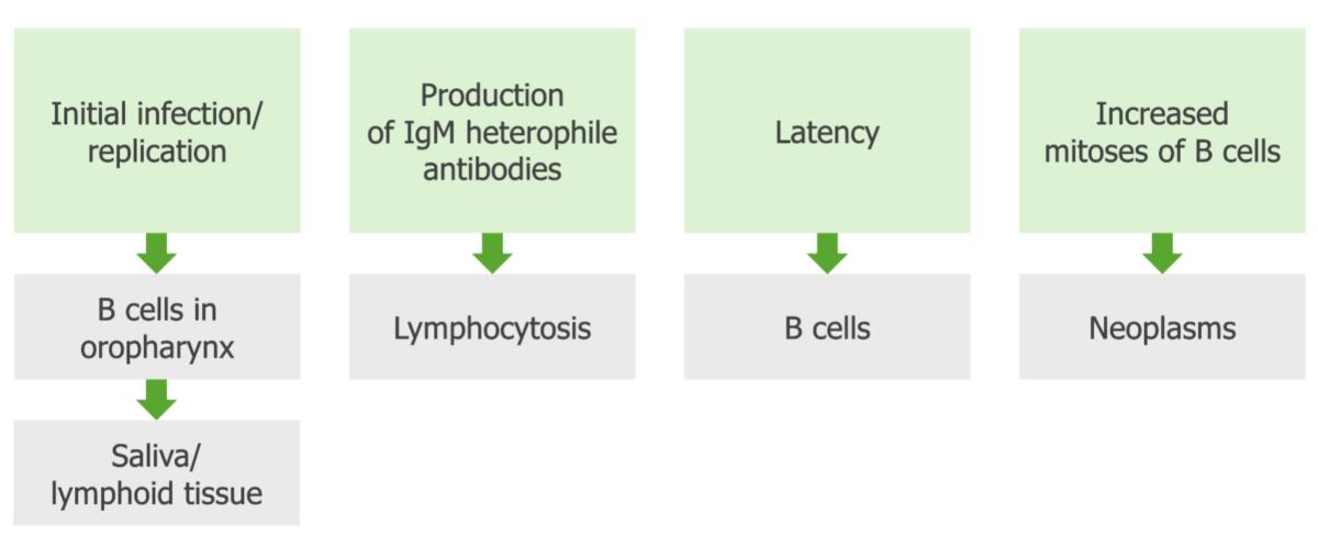 Pathogenesis oEpstein-Barr virus