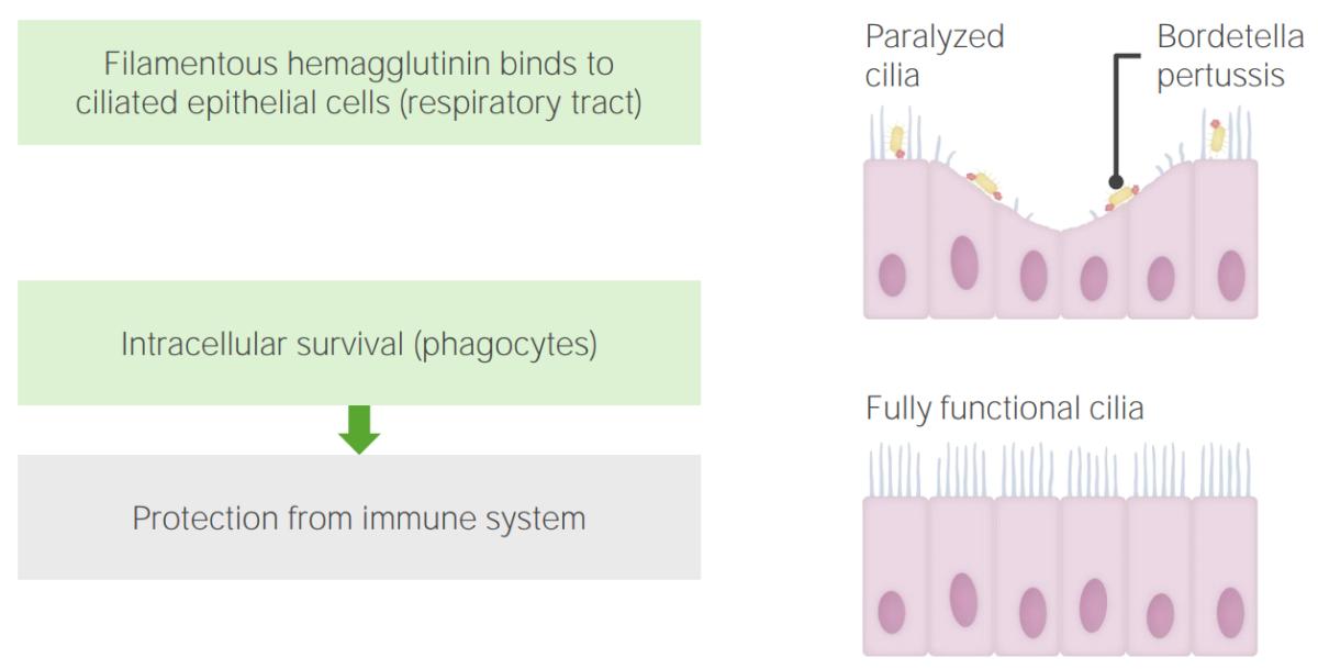 Pathogenesis of Bordetella pertussis
