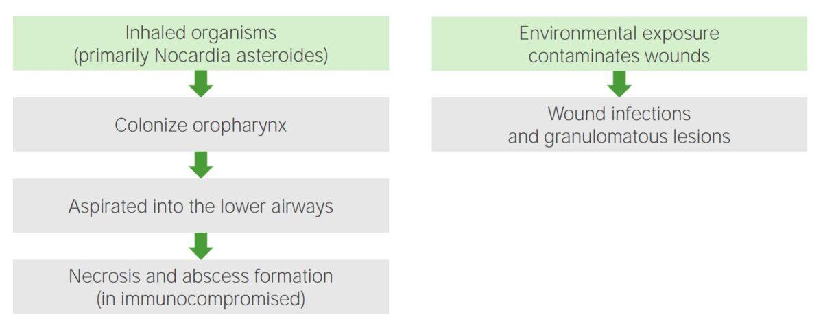 Pathogenesis of Nocardia