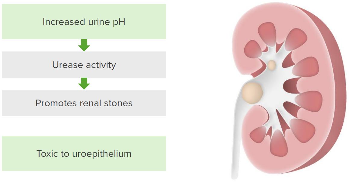Pathogenesis of Proteus infection