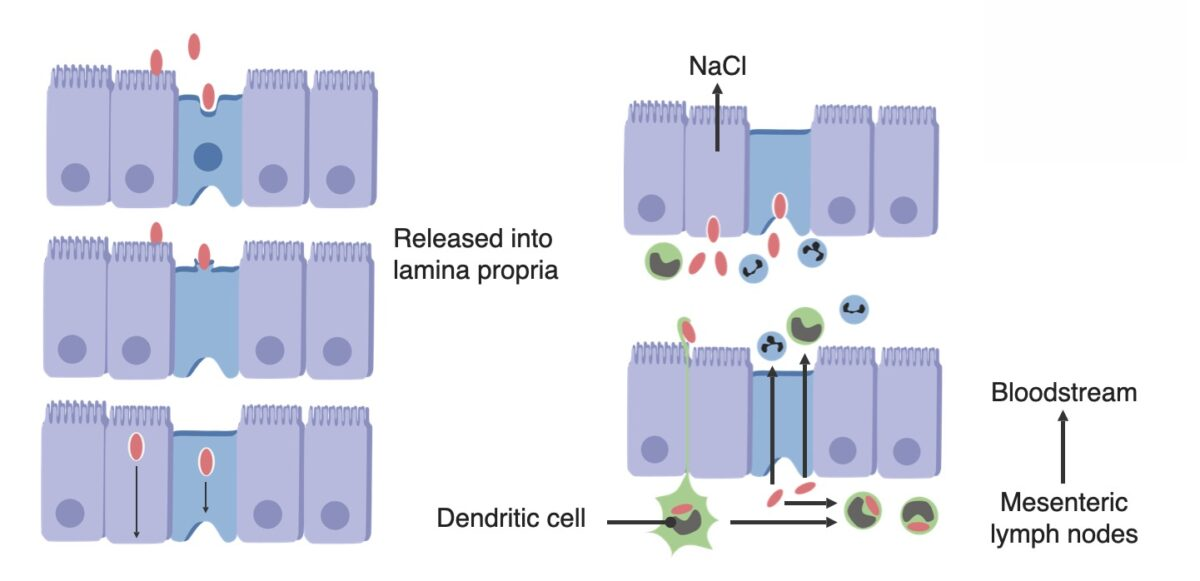 Pathogenesis of Salmonella